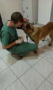 Belgian malinois, severely abused